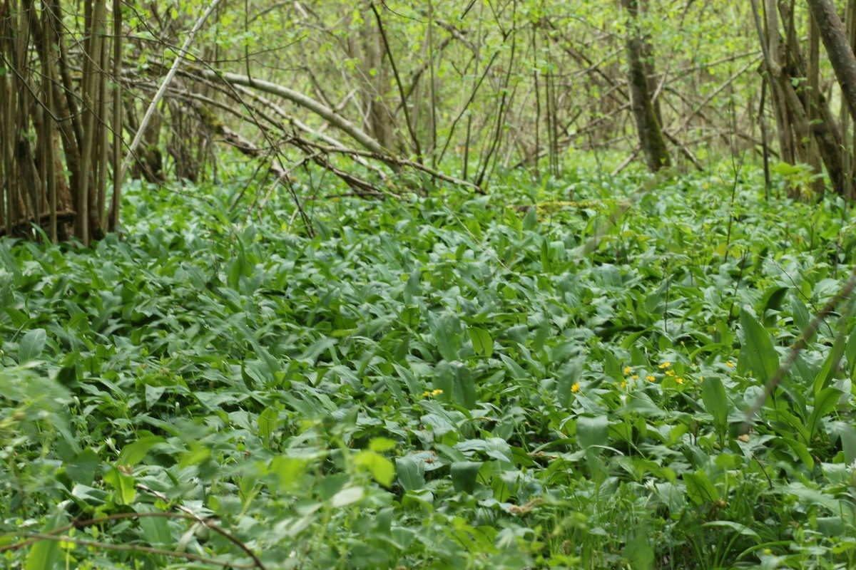 Frische Heilkräuter aus dem Auwald für die Frühjahrsuppe