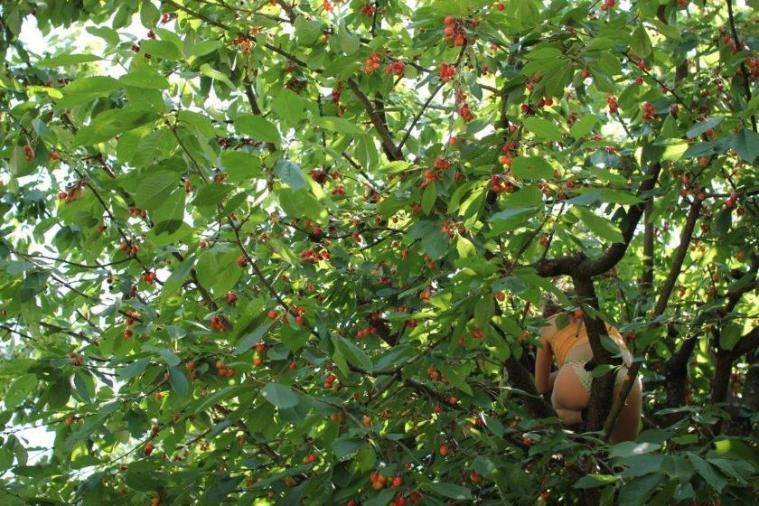 Vogelkirschbaum