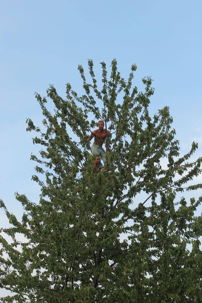 Vogelkirschbaumklettern