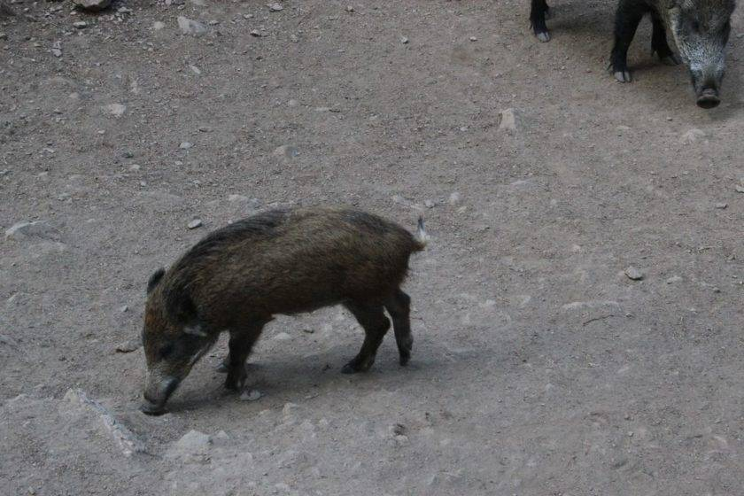 Wildschweine vermeiden