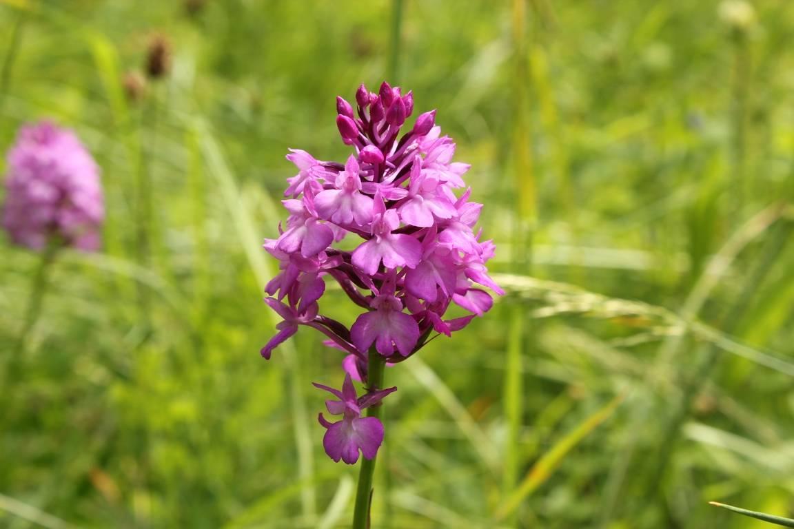 Orchideenwanderung in Brucherbierg-Lallengerbierg (Schifflingen, Luxemburg)